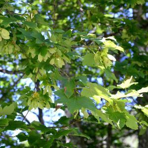 Photographie n°2266429 du taxon Acer pseudoplatanus L.