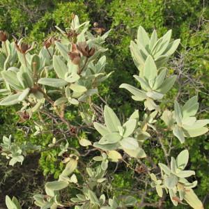 Photographie n°2266459 du taxon Cistus albidus L. [1753]