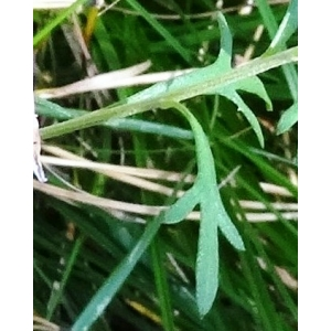 Leucanthemum paludosum (Poir.) Pomel