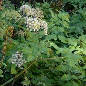 Photographie n°2266706 du taxon Angelica sylvestris L. [1753]