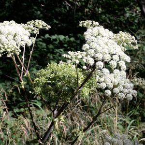 Photographie n°2266707 du taxon Angelica sylvestris L. [1753]