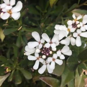 Photographie n°2266813 du taxon Iberis amara L. [1753]