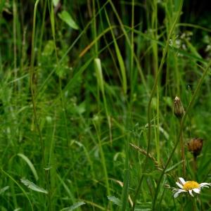 Photographie n°2267158 du taxon Leucanthemum vulgare Lam. [1779]