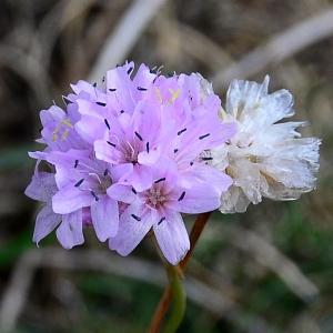 Photographie n°2267162 du taxon Armeria alpina Willd. [1809]