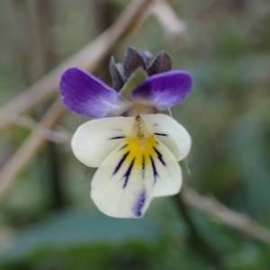 Photographie n°2267192 du taxon Viola arvensis Murray [1770]