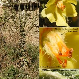 Photographie n°2267204 du taxon Verbascum pulverulentum