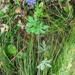 Photographie n°2267206 du taxon Geranium sylvaticum L. [1753]