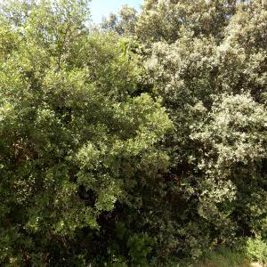 Photographie n°2267267 du taxon Quercus x auzandri Gren. & Godr. [1856]
