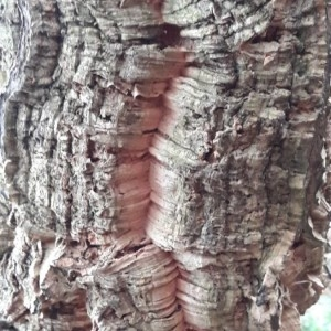Photographie n°2267282 du taxon Quercus suber L. [1753]