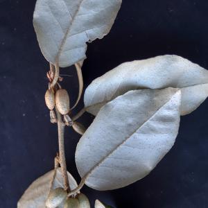 Elaeagnus macrophylla Thunb. (Broad-leaved Elaeagnus)