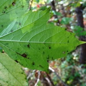 Photographie n°2267345 du taxon Viburnum opulus L. [1753]