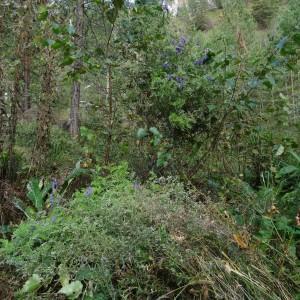 Photographie n°2267353 du taxon Vicia cracca L. [1753]
