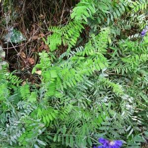 Photographie n°2267354 du taxon Vicia cracca L. [1753]