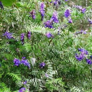 Photographie n°2267355 du taxon Vicia cracca L. [1753]
