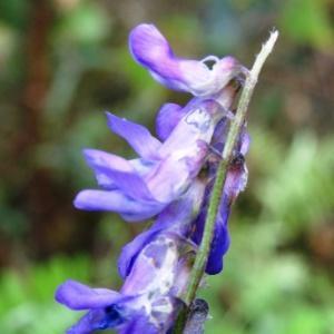 Photographie n°2267358 du taxon Vicia cracca L. [1753]