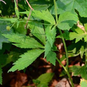 Photographie n°2267366 du taxon Ranunculus aconitifolius L. [1753]