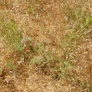- Corynephorus divaricatus (Pourr.) Breistr. [1950]