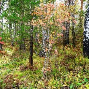 Photographie n°2267471 du taxon Viburnum opulus L. [1753]