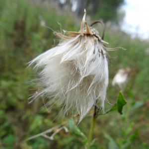 Cirsium arvense var. vestitum Wimm. & Grab.