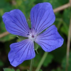 Photographie n°2267590 du taxon Geranium sylvaticum L. [1753]
