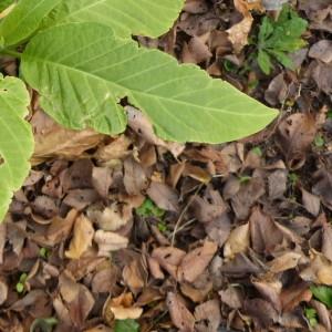 - Brugmansia suaveolens (Humb. & Bonpl. ex Willd.) Bercht. & J.Presl