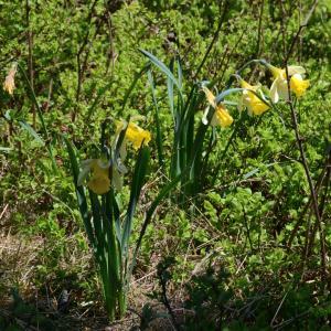 Photographie n°2267746 du taxon Narcissus pseudonarcissus L. [1753]