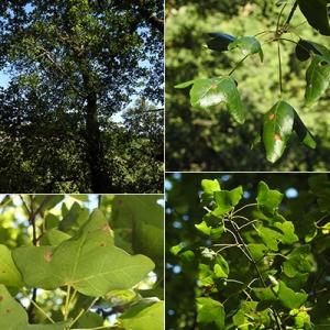 Photographie n°2267834 du taxon Acer monspessulanum L. [1753]