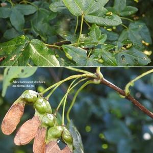 Photographie n°2267879 du taxon Acer monspessulanum L. [1753]