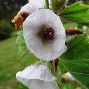 Photographie n°2268015 du taxon Althaea officinalis L. [1753]