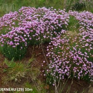 Photographie n°2268055 du taxon Armeria maritima subsp. maritima