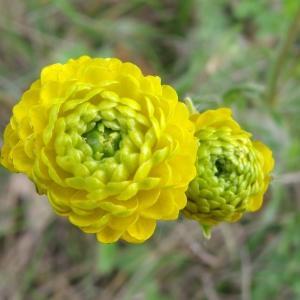 Photographie n°2268147 du taxon Ranunculus bulbosus L. [1753]