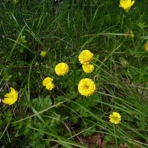 Photographie n°2268150 du taxon Ranunculus bulbosus L. [1753]