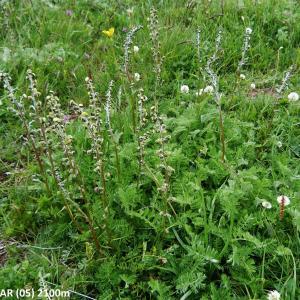 Photographie n°2268264 du taxon Artemisia atrata Lam.