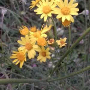 Photographie n°2268311 du taxon Jacobaea vulgaris Moench [1794]