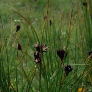 - Juncus arcticus Willd. [1799]