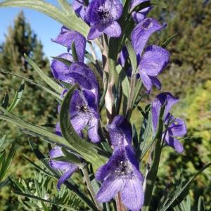 Photographie n°2268346 du taxon Aconitum napellus L. [1753]