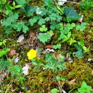 Photographie n°2268512 du taxon Ranunculus bulbosus L. [1753]