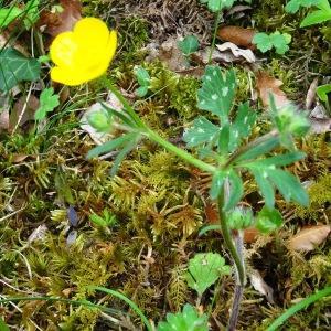 Photographie n°2268513 du taxon Ranunculus bulbosus L. [1753]