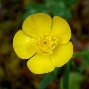 Photographie n°2268514 du taxon Ranunculus bulbosus L. [1753]