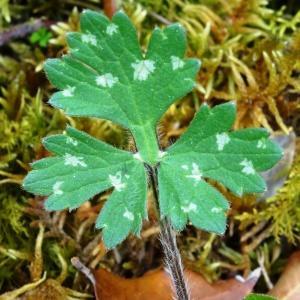 Photographie n°2268516 du taxon Ranunculus bulbosus L. [1753]