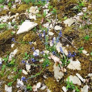 Photographie n°2268560 du taxon Ranunculus bulbosus L. [1753]