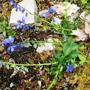 Photographie n°2268561 du taxon Ranunculus bulbosus L. [1753]