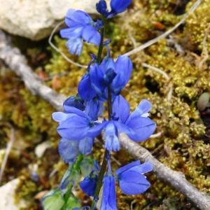 Photographie n°2268562 du taxon Ranunculus bulbosus L. [1753]