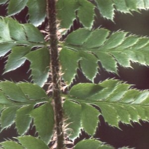Photographie n°2268590 du taxon Polystichum aculeatum (L.) Roth [1799]