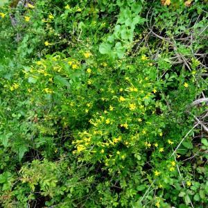Photographie n°2268634 du taxon Jasminum fruticans L. [1753]