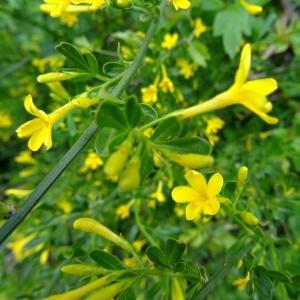 Photographie n°2268636 du taxon Jasminum fruticans L. [1753]
