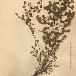 Adiantum capillus-veneris L. (Capillaire)