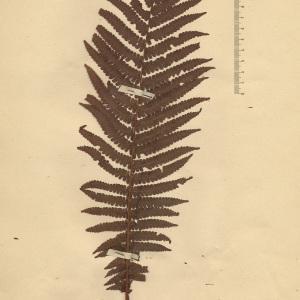 Oreopteris limbosperma (Bellardi ex All.) Holub [1969] (Fougère des montagnes)