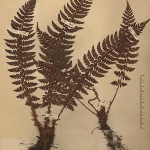 Photographie n°2268673 du taxon Aspidium aculeatum (L.) Sw. [1802]