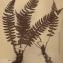 La Spada Arturo - Aspidium aculeatum (L.) Sw. [1802]